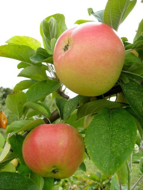 Manfaat Buah Apel Untuk Ibu Hamil