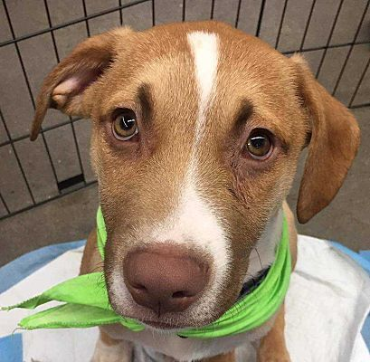 Whitestone Ny Collie Meet Denver A Pet For Adoption Female Puppy For Adoption Pet Adoption Pets Collie