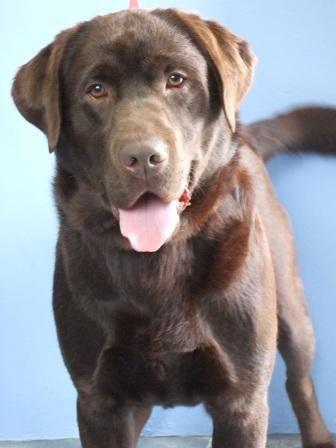 Chocolate Labrador Retriever Puppies Labrador Puppy Labrador Retriever Puppies Cute Baby Animals