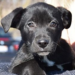 Available Pets At Animal House Shelter Inc In Huntley Illinois Labrador Retriever Labrador Retriever