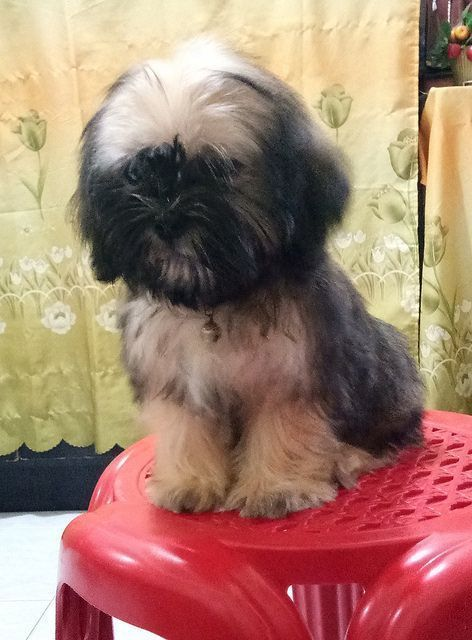 Shih Tzu Temperament How Does This Classic Breed Behave Shih