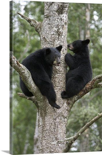 Black Bear (Ursus americanus) two cubs in tree, Orr, Minnesota