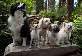 Pomapoo Breeder Washington State Northwest Doodle Dogs Doodle
