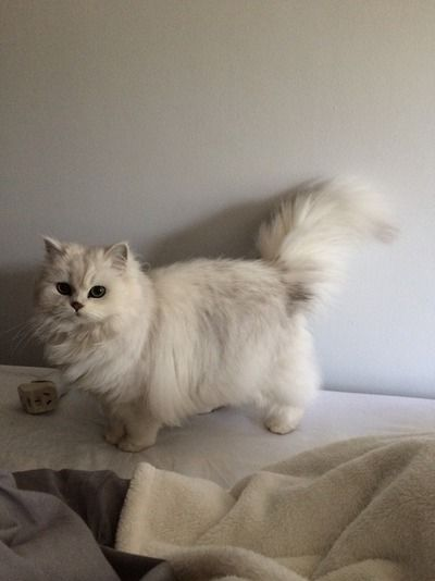 Chinchilla Persian… Watched the fancy feast commercial lol I know but I loved … – funny cats Cute Kittens, Ragdoll Kittens, Cats And Kittens, Siamese Cats, Cats Bus, Derpy Cats, Tabby Cats, Bengal Cats, Pretty Cats