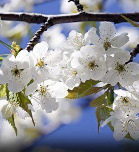 Bing Cherry Tree Prunus Avium Northwest United States Bing Cherries Cherry Tree Cherry Flower
