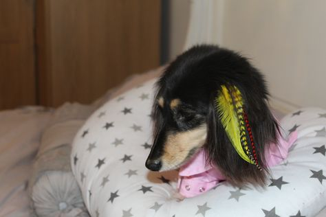 Little Jessica The Mini Dachshund Rocking Her Yellow Feather