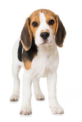 Caractere Du Beagle Beagle Beagle Dog Beagle Adoptable Beagle
