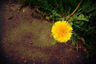 dandelion 3 花言葉 誕生花 タンポポ