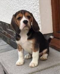 Beagle Puppies For Sale Waz Zap What Sapp 60172415563 For Sale