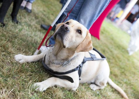 Learn What It Takes Help Train A Service Dog Emotional Support