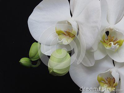 White Orchid Bunch And Green Orchid Buds On Black Background Phalaenopsis Known As Moth Stylish Orchid Bouquet Luxurious Green Orchid White Orchids Orchids