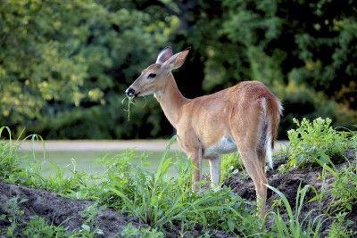 Deer Proofing Roses How To Prevent Deer Damage To Rose Bushes Deer Resistant Garden Planting Roses Deer Resistant Plants