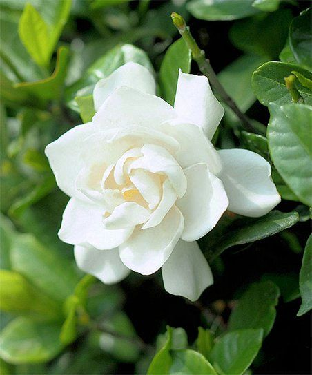 Coconut Magic Features The Largest Blossoms Of Any Gardenia On The Market Its Massive 5 To 6 Flowers Emit A Classic Gardenia Fragr Plants Flower Arrangements Flower Seeds