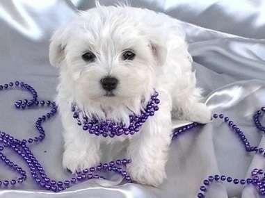 Hana Maltese Dogs Maltese Maltese Puppies For Sale