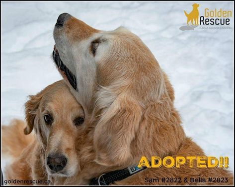 Pin By Golden Rescue On Happy Tails Adoption Stories Rescue