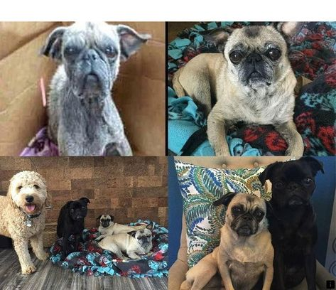 Learn More About Teacup Pugs For Sale Follow The Link For More