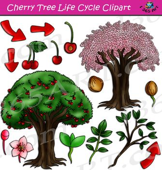 Learn More About The Life Cycle Of A Cherry Tree With These Brightly Colored Graphics Teach Your Students In An Exciti Tree Life Cycle Cherry Tree Life Cycles