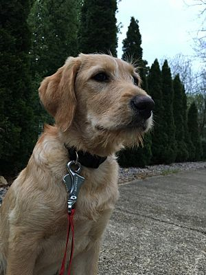 We Are Hoping To Bring Rusty Home Golden Retriever Golden