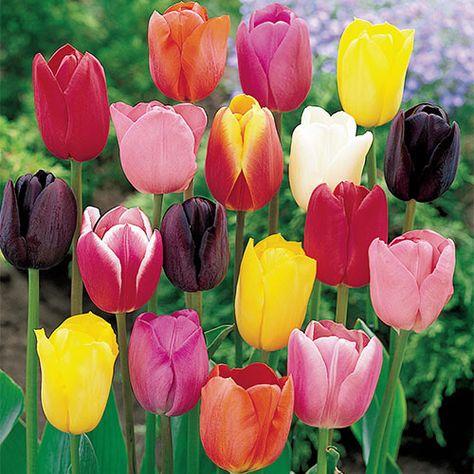 Cream Of The Crop Tulip Mixture Super Sak 35 Per Package In 2020 Bulb Flowers Tulip Bulbs Part Shade Flowers