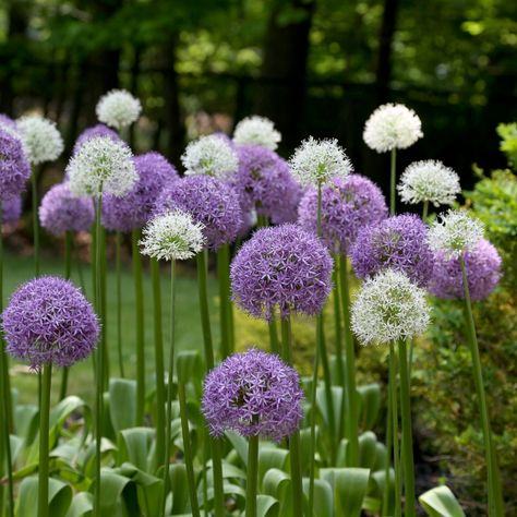 Let Alliums Take Your Perennial Garden To New Heights These