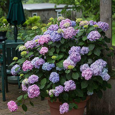 Garden Ideas Projects The Home Depot In 2020 Bloomstruck Hydrangea Flower Pots Hydrangea Not Blooming