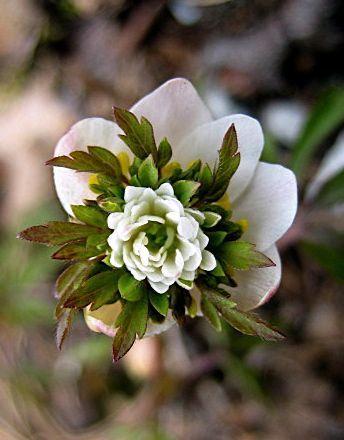 Anemone nemerosa 'Green fingers'