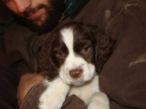 Stanley English Springer Spaniel Puppies For Sale In East Palestine Ohio Vip Puppies Springer Spaniel Puppies Spaniel Puppies For Sale Spaniel Puppies