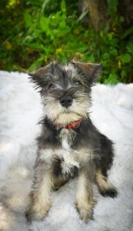 Puppies For Sale Buckeye Puppies In 2020 Schnauzer Puppy Miniature Schnauzer Puppies Puppies For Sale