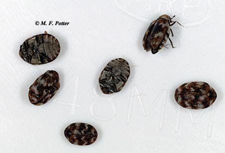 Carpet Beetles Entomology Premier Heritage Woodworm Wood Boring Beetles Woodworm Beetle Common Woodworm Beetles Foun In 2020 Carpet Beetle Eggs Beetle Cool Furniture
