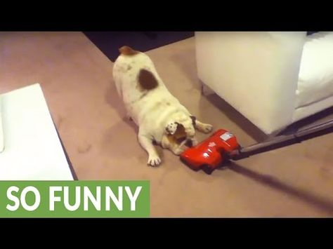 English Bulldog is a little unsure about new vacuum ...