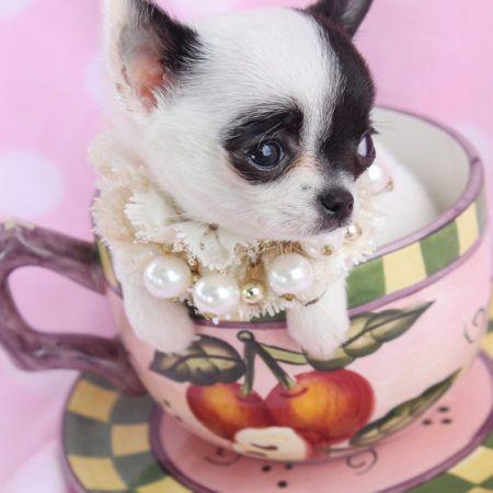 Teacup Chihuahua Id 089 Animal Cuties Teacup Chihuahua