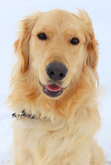 Golden Retriever Facts Golden Retrievers Dogs Golden Retriever