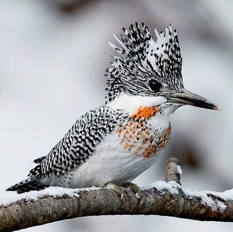 Crested Kingfisher (Megaceryle lugubris) - resident in the Himalayas and mountain foothills of northern India, Bangladesh, northern Indochina, south-east Asia and Japan. Cute Birds, Pretty Birds, Beautiful Birds, Animals Beautiful, Cute Animals, Exotic Birds, Colorful Birds, Kinds Of Birds, Tier Fotos