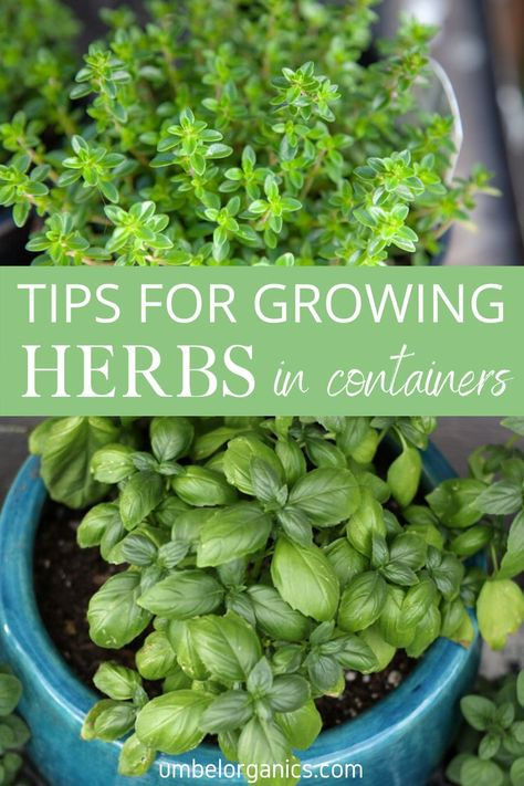 Growing Seeds, Growing Plants, Container Herb Garden, Herbs Garden, Garden Shrubs, Garden Landscaping, Biennial Plants, Types Of Herbs, Cactus