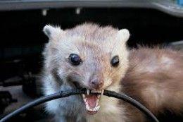 4856ba7abc0128ecc8c698e565a50adb - How To Get Rid Of Mice In Car Hood