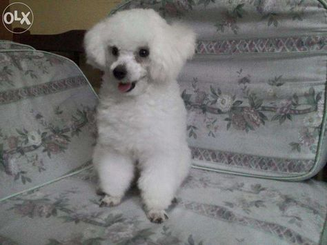 View White Toy Poodle For Sale For Sale In Caloocan On Olx