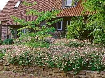 Der Balkan Storchschnabel Zahlt Zu Den Turboschnellen Begrunern Im Garten Balkan Storchschnabel Garten Gruner Garten