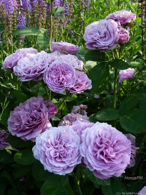 'Lavender Ice ' Rose Photo great first bloom, than very slow repeating, very low and compact variety