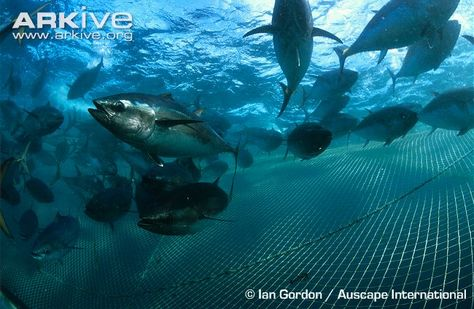 Overfishing has seen the southern bluefin tuna driven to the brink of extinction. The flesh of this massive bony fish has a particularly high fat content and commands a high price in Japan, where an individual fish can fetch as much as US$ 10,000 in 'sashimi' markets. The annual catch of this species during the 1960s was around 80,000 tonnes worldwide and it is estimated that global breeding stocks have been reduced by as much as 97 percent.