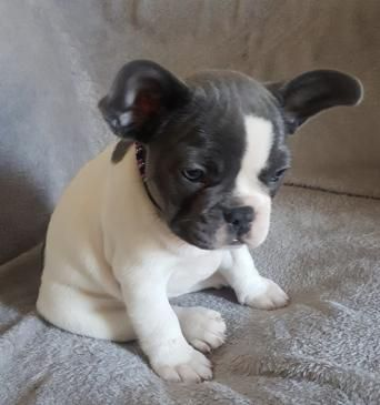 Dogs Puppies Rehome Buy And Sell Preloved In 2020 With