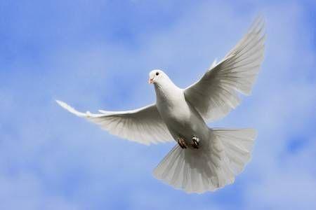 Paloma Blanca Volando En El Cielo Sobre Paloma Blanca Paloma