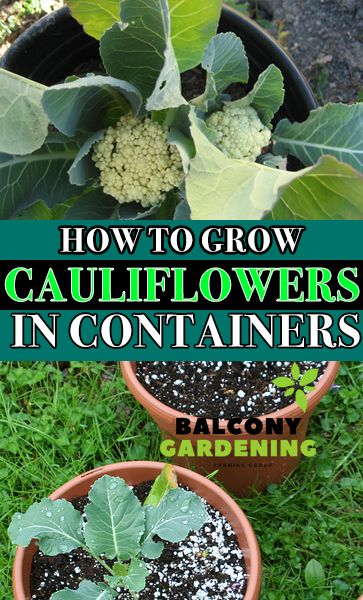 Grow Cauliflower In Containers Is Comparatively Difficult In A