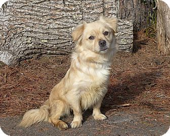 Mocksville, NC Pekingese/Tibetan Spaniel Mix. Meet Layla