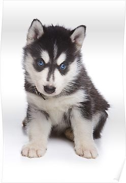 Cute Puppy Husky With Blue Eyes Poster Husky With Blue Eyes