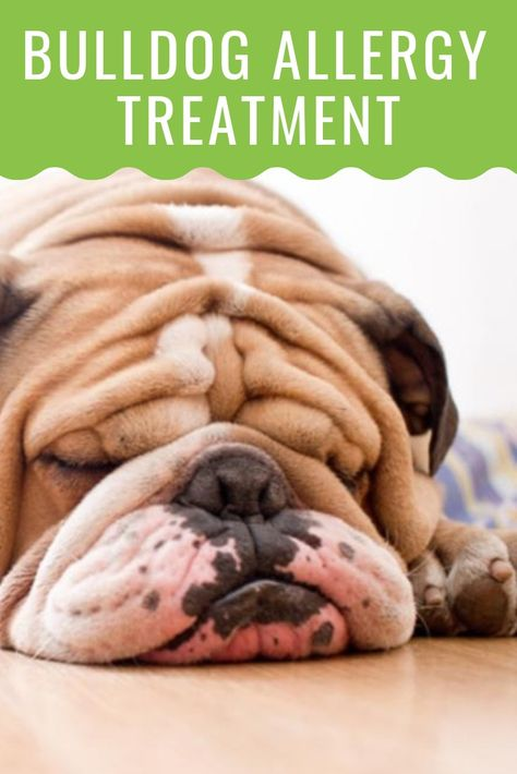 Bulldog Allergies Causes And Treatments Allergy Treatment Dog