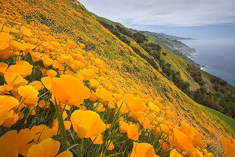 Big Sur, CA poppies (maybe on Post Ranch inn property but there's no way these were taken in December)