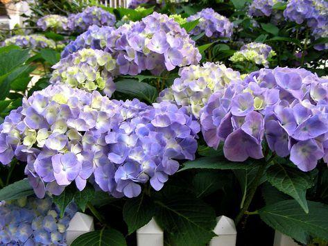 Hortensien Expertentipps Zum Pflanzen Pflegen Schneiden Pflanzen Hortensien Und Hydrangea Macrophylla