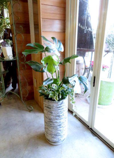 0433観葉植物ギフト モンステラとアンティーク鉢 観葉植物