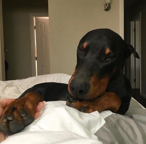 Image about love in photography by Daia on We Heart It Perro Doberman Pinscher, Doberman Dogs, Dobermans, Brown Doberman, Animals And Pets, Baby Animals, Cute Animals, I Love Dogs, Cute Dogs