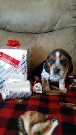 Fantastic Beagle Pups Info Is Readily Available On Our Site